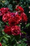 Rose variopinte in un roseto Immagine Stock