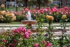 Rose variopinte in un roseto Fotografia Stock