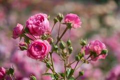 Rose variopinte in un roseto Immagine Stock Libera da Diritti