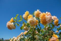 Rose variopinte in un roseto Fotografie Stock