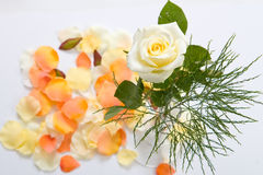 Rose in a vase. Picture of rose in a vase Stock Images