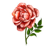 Rose vector illustration  hand drawn  painted Royalty Free Stock Photo