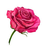 Rose vector illustration  hand drawn  painted Stock Images