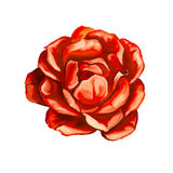 Rose vector illustration  hand drawn  painted Stock Photo