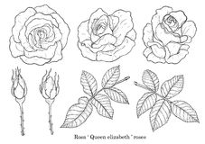 Rose vector set by hand drawing. Beautiful flower on white background.Rose art highly detailed in line art style.Rosa queen elizabeth rose Royalty Free Stock Images