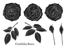 Rose vector set by hand drawing. Beautiful flower on white background.Rose art highly detailed in line art style.Rosa queen elizabeth rose Royalty Free Stock Photo
