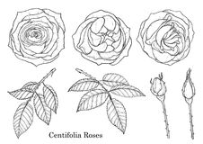 Rose vector set by hand drawing. Beautiful flower on white background.Rose art highly detailed in line art style.Rosa queen elizabeth rose Stock Photography