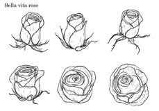 Rose vector set by hand drawing. Beautiful flower on white background.Rose art highly detailed in line art style.Bella vita rose for wallpaper Royalty Free Stock Images