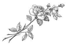 rose vektor Arkivbilder