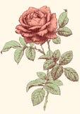 rose vektor Royaltyfria Foton