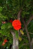 Rose of Venezuela Stock Images