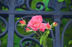 A Rose from Venice to my eternal beloved Elsbeth Dyckhoff Royalty Free Stock Image