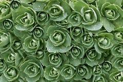 Rose verdi Fotografia Stock