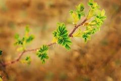 Rose verdi di fuga con le foglie verdi e le spine Fotografia Stock Libera da Diritti