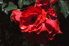 Rose verwelkend, stieg mit den zerbröckelnden Blumenblättern und alterte stieg Lizenzfreie Stockbilder