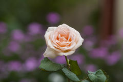 Rose. Very beautiful plant in the garden Stock Images
