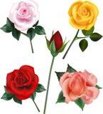 Rose Vetora Illustrations Fotografia de Stock