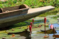 Rose vibrant Lotus Flower Buds dans une couverture d'étang avec Lotus Leaves avec un bateau en bois à l'arrière-plan photographie stock libre de droits