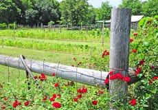 rose vine för täppa royaltyfri bild