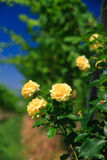Rose on a vineyard rows Royalty Free Stock Photography