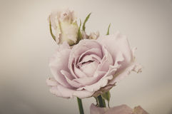 Rose Vintage Flowers Royalty Free Stock Photography