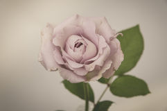 Rose Vintage Flowers Stock Photography