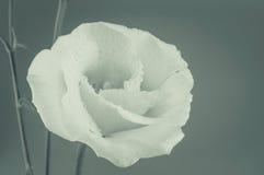 Rose Vintage Flowers In warm tones Stock Photos
