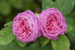 Rose viola Immagine Stock
