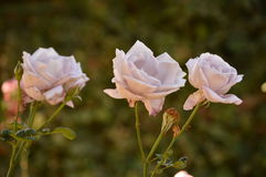Rose viola Immagini Stock