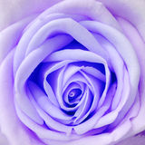 Rose violet Happy love fresh new day. Rose violet Royalty Free Stock Photography
