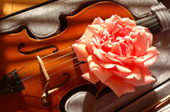 Rose on violin. Large pink rose on a Violin royalty free stock photography