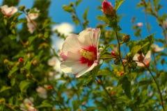 Rose von Sharon Lizenzfreies Stockfoto