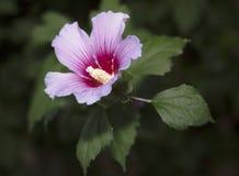 Rose von Sharon-Blühen Stockfoto