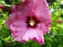 Rose von Sharon Blossom Stockfoto