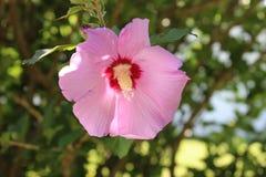 Rose von Sharon-Blume mit unscharfem Hintergrund Lizenzfreie Stockfotografie