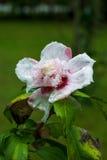 Rose von Sharon-Hibiscus Stockfotografie