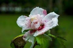 Rose von Sharon-Hibiscus Stockfotos