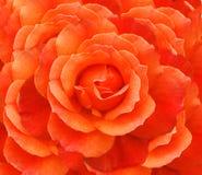 rose walentynki Obrazy Royalty Free
