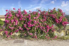 Rose wall near Porto Azzurro, Elba, Tuscany, Italy Royalty Free Stock Photos