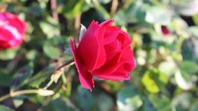Rose11. The rose was filmed in Bulgaria Yambol stock video