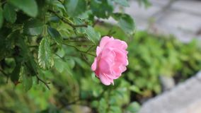 Rose. The rose was filmid in Bulgaria Jambol stock footage