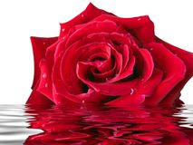 Rose in the water. Red rose with water drops in the water with reflection Stock Photos