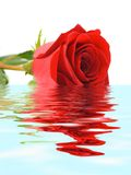 Rose in water royalty free stock photo