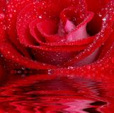 Rose in water Stock Photos