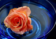 Rose in water Royalty Free Stock Image