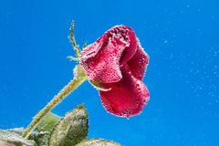 Rose in the water on a blue background Royalty Free Stock Image