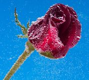 Rose in the water on a blue background Stock Photo