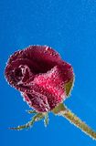 Rose in the water on a blue background Royalty Free Stock Photo