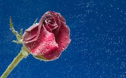 Rose in the water on a blue background Royalty Free Stock Images