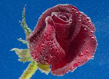 Rose in the water on a blue background Stock Photography